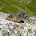 Marmotta sul Cimone