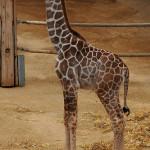 Dalla parte della giraffa imolese